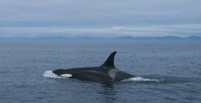 BULL ORCA